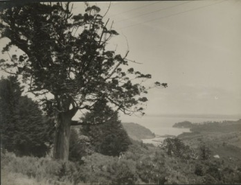 Agathis[?] above (Little Muddy?) Titirangi,Garlick, Una, 1883-1951, photographer,1921-1951