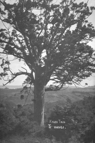 Kauri Tree Titirangi 1934